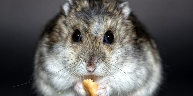 comment faire perdre du poids à votre hamster