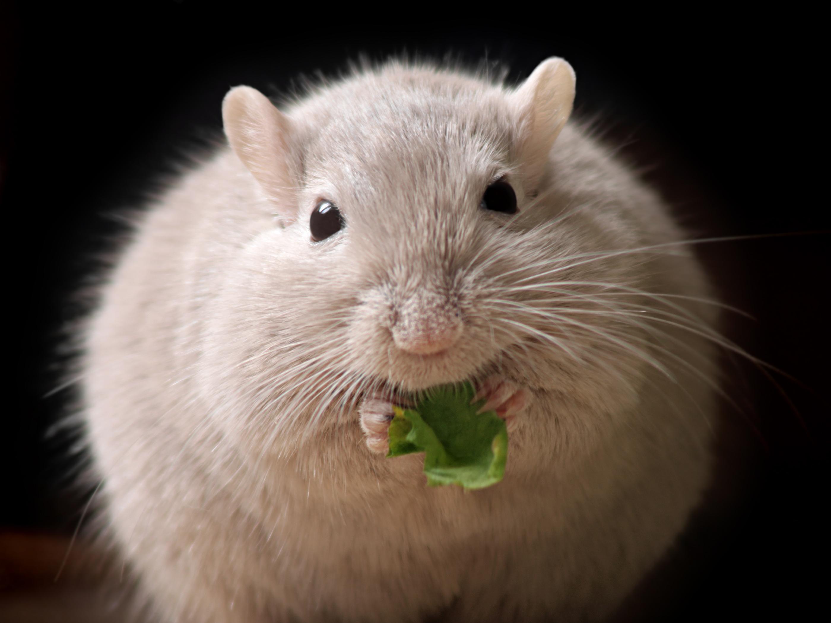 perte de poids de hamster mental