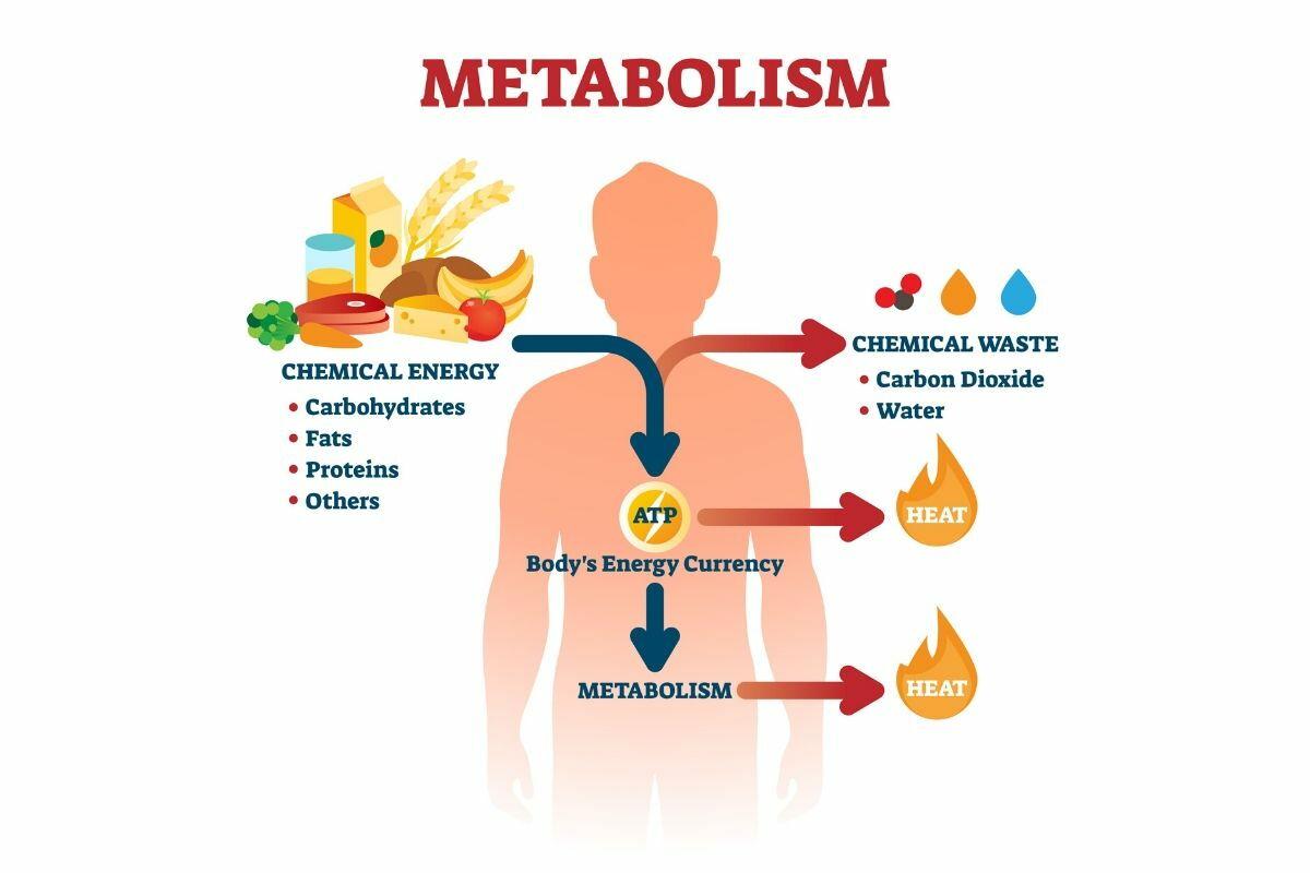 la perte de poids stimule-t-elle le métabolisme