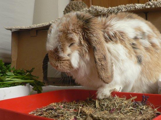 Mon lapin nain perds du poids, est-il malade ? ? - Conseils veterinaires de Patrick