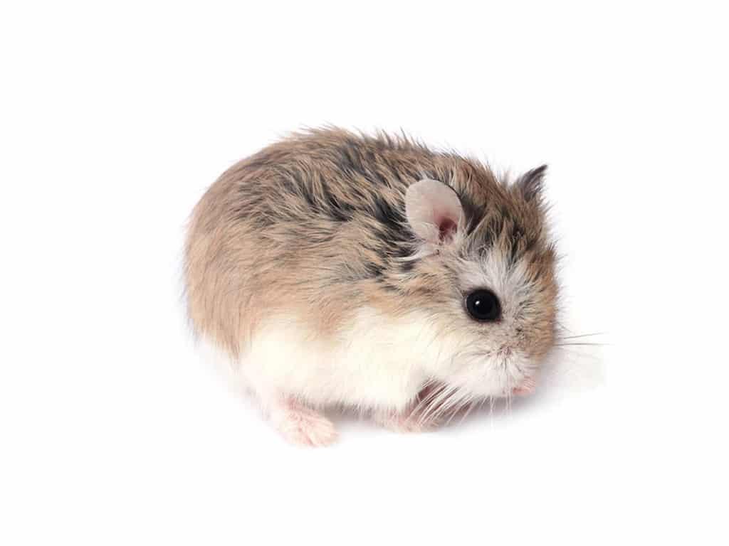 Quelles sont les maladies fréquentes chez le hamster ?