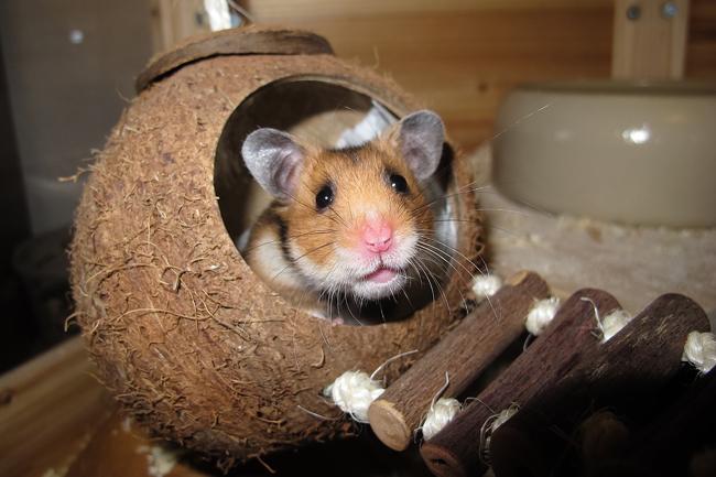 perte de poids chez les hamsters