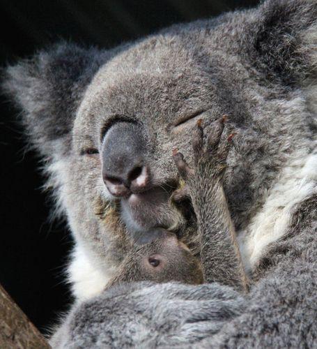 brûleur de graisse koala