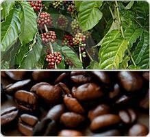 la caféine inhibe-t-elle la perte de poids perdre la graisse du ventre et la taille plus petite