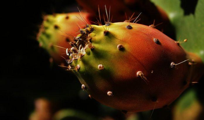 P57 Hoodia Cactus amincissant la Capsule, une - PSLYH