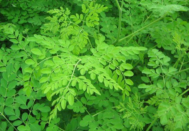 utilisations de feuilles de pilon pour perdre du poids