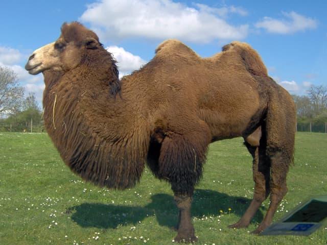 Yoga : la posture du chameau - Ustrasana - Yogamatata