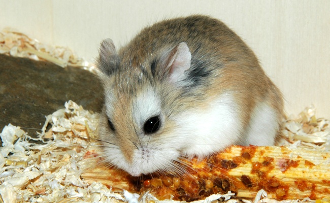 hamster trop gros - Hamsters, cochons d'Inde, lapins - FORUM Animaux - Doctissimo