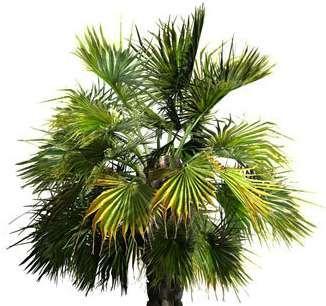 Le palmier nain est-il bon pour perdre du poids