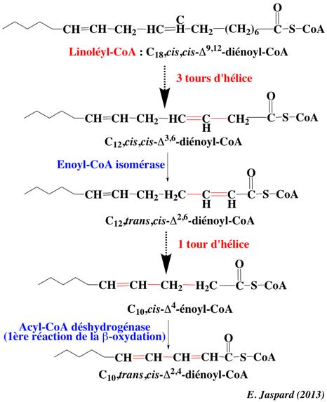 Glucides et lipides, des sources d'énergie pour l'organisme | Planet-Vie