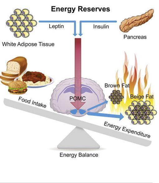Obésité : une enzyme brûle naturellement les graisses stockées - Doctissimo