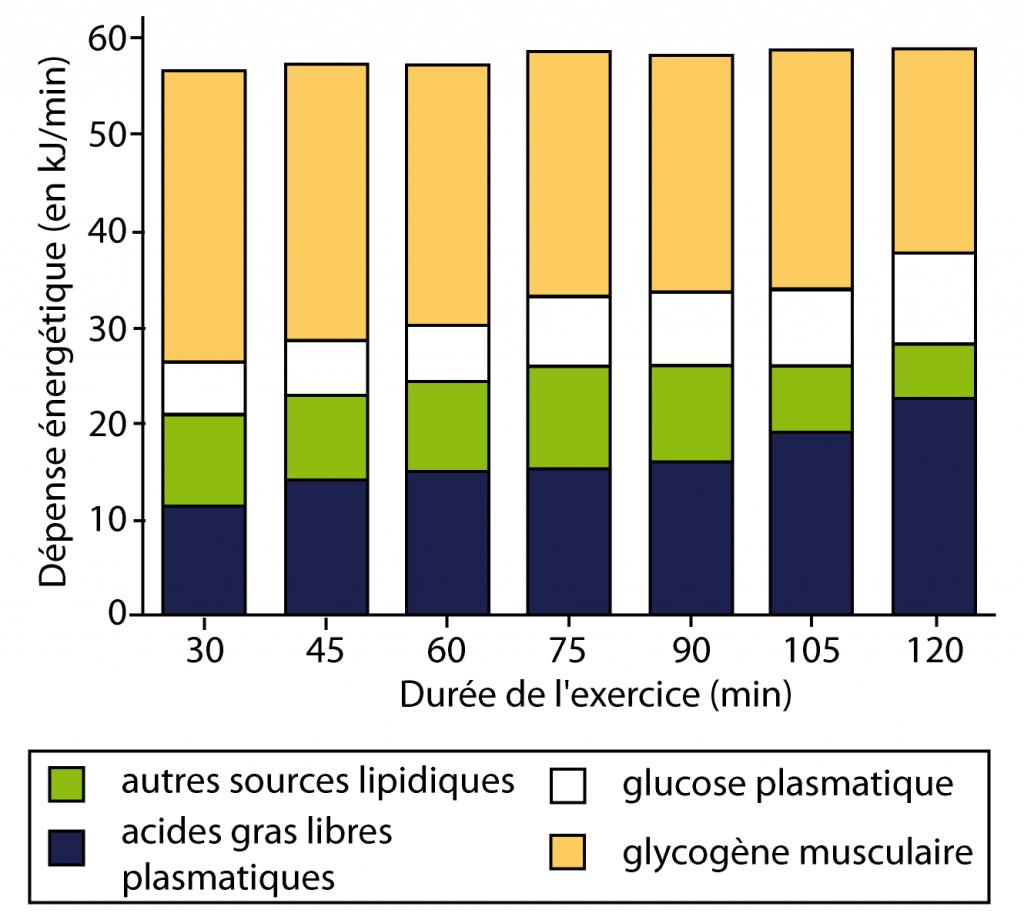 comment brûler les graisses et non le glycogène
